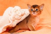 image of ruddy-faced  - Abyssinian kitten portrait with white handmade hat - JPG
