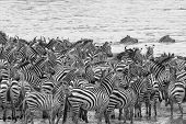 picture of zebra crossing  - Swimming for Freedom, Zebras await crossing the Mara River, avoiding potential drowning or Crocodiles ** Note: Visible grain at 100%, best at smaller sizes - JPG
