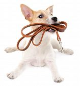 stock photo of jacking  - Funny little dog Jack Russell terrier with leather leash - JPG