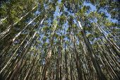 pic of eucalyptus trees  - Towering and converging trees on the Hamakua Coast - JPG