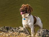 stock photo of working-dogs  - Brown and White Springer Spaniel Dog on Rocky Beach - JPG