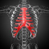 foto of sternum  - 3d render medical illustration of the sternum and cartilage  - JPG