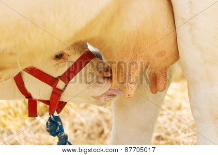Small calf drinking milk from mother.