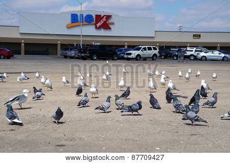 Pigeons and Seagulls in front of a K-Mart Store