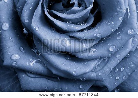 blue rose petals close up