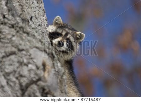Racoon In Winter