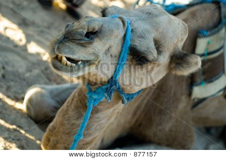 Camel Biting