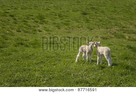 Two Baby Lambs