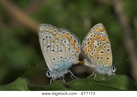 Butterfly_Mating