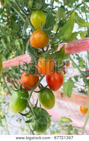 Tomato In Fruiting Stage