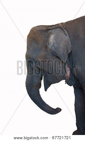 Old Female Elephant