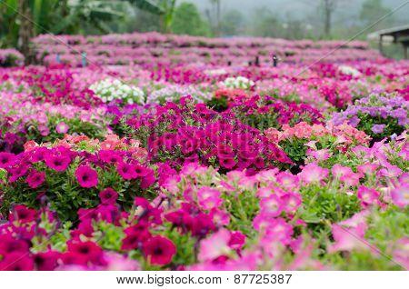 Petunia  Blooming In Garden