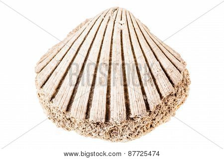 Fossil Seashell