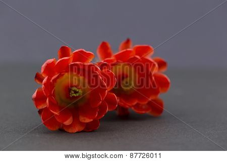 Two Red Hedgehog Cactus Flowers On Gray Background