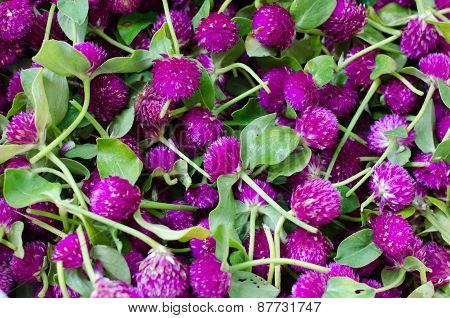 Purple Globe Amaranth Or Bachelor Button Flower (gomphrena Globosa L.)