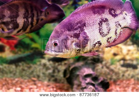 Beautiful Aquarium Fish Astronotusa