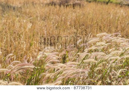 Grass Flower In The Paddy Field