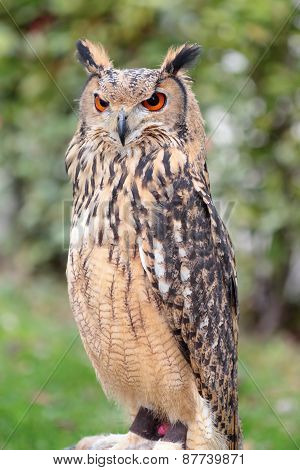 Indian Eagle-owl, Also Called The Rock Eagle-owl Or Bengal Eagle-owl, Bubo Bengalensis,