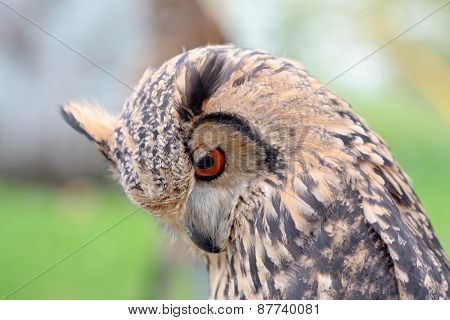 Portrait Of An Indian Rock Eagle-owl