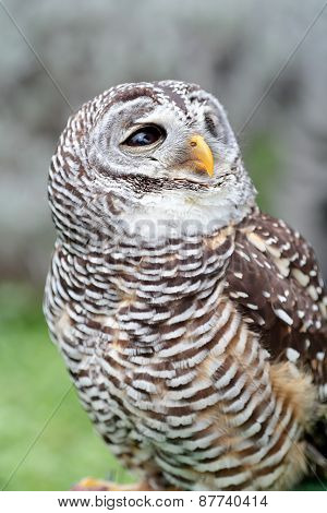 Barred Owl Looking Behind