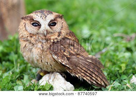 A Sunda Scops Owl At Ground