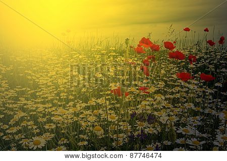 Landscape With Poppies And Chamomile In Sunset Light