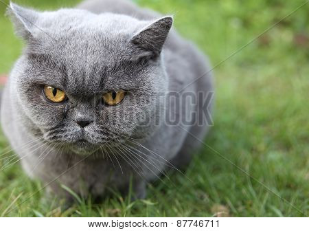 Cat British Shorthair Named Tais Queen