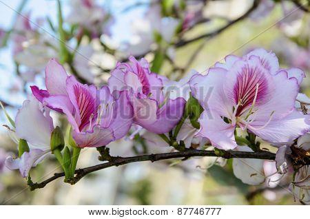 Purple Bauhinia Flower Bloom