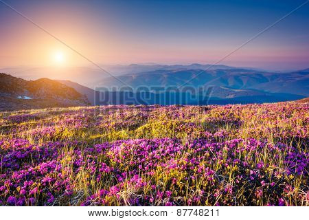 Great view of the magic pink rhododendron flowers on the hill. Dramatic unusual scene. Carpathian, Ukraine, Europe. Beauty world.  Retro style, vintage soft filter. Instagram toning effect.
