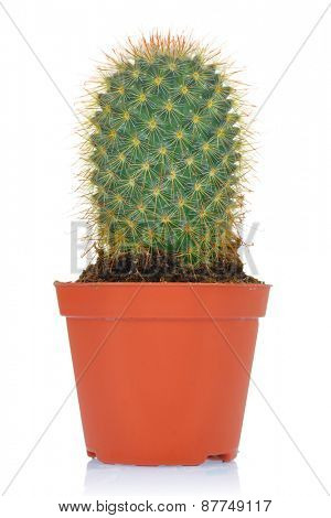 Potted green cactus isolated on white background