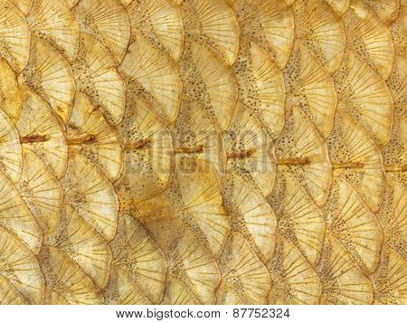 Bright Golden Fish Scales
