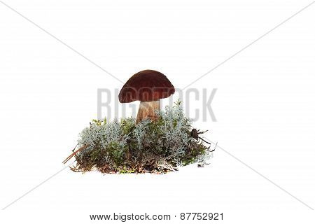 A cep mushroom grown into the moss isolation on white