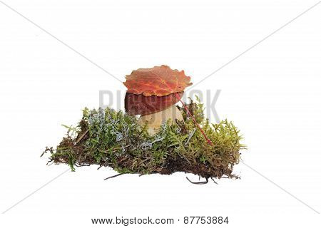A cep mushroom and a aspen leaf on the top of it, grown into the moss, isolated on white