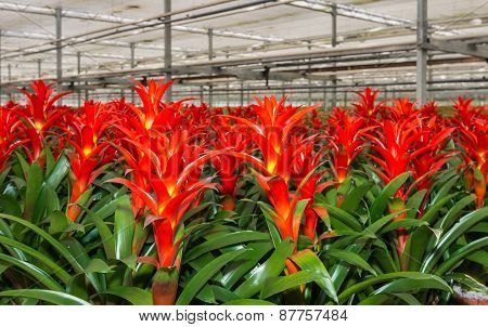 Red Blooming Bromeliad Plants In A Nursery