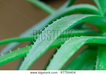 Leaves Of Aloe Vera