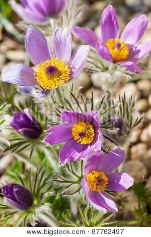 Detail of  pasque flower (Pulsatilla) in stone garden