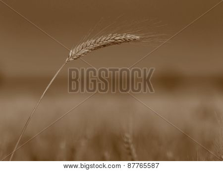 Barley Ear