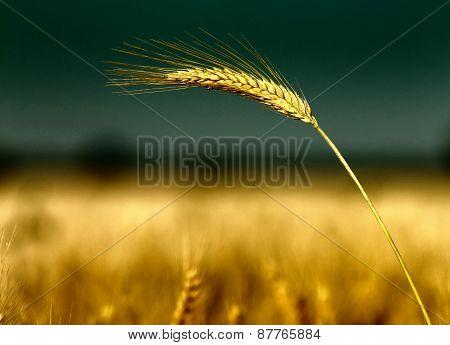 Barley Ear