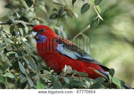 Crimson Rosella (platycercus Elegans)