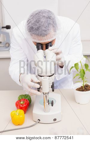 Scientist examining peppers with microscope in the laboratory