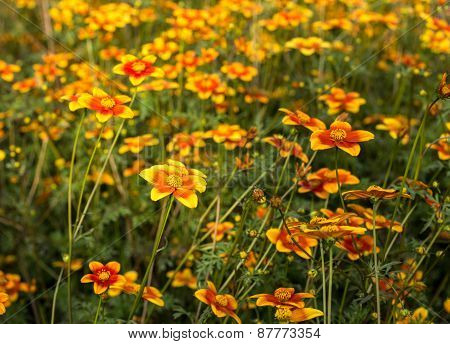 Field Of Flowers Called Bidens Ricadente In Spring