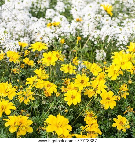Yellow Flowers And Little White Flowers In The Meadow