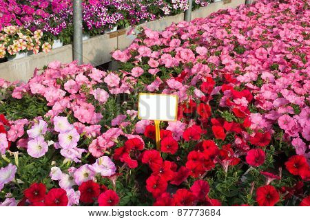 Pink And Red Petunias In The Great Greenhouse