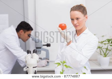 Focus scientist looking at tomato in the laboratory