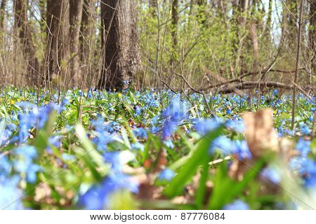 Vegetation carpet of blue snowdrops