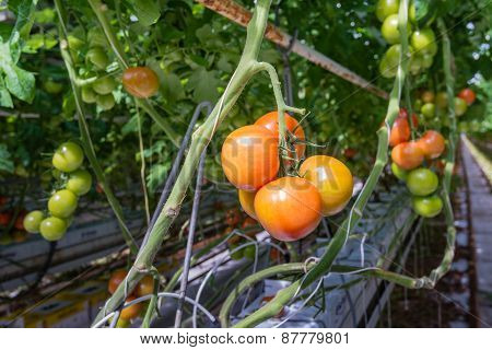 Ripe And Unripe Tomatoes In A Glasshouse