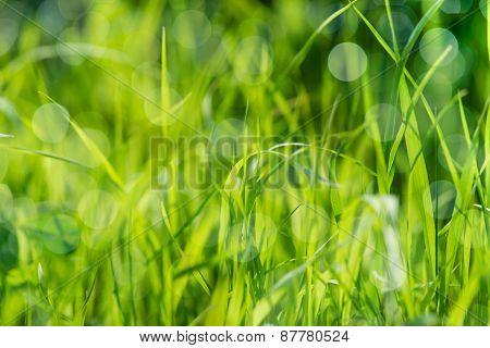 Green Wet Grass On Summer Field, Texture Background. Bokeh And Sunlight