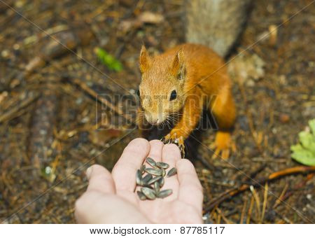The Squirrel Eats From A Hand