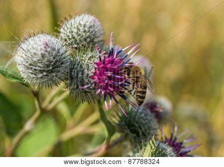 Beautiful Green Thistle And Honeybee