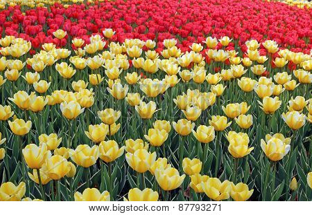 Lots of yellow tulips on the flowerbed